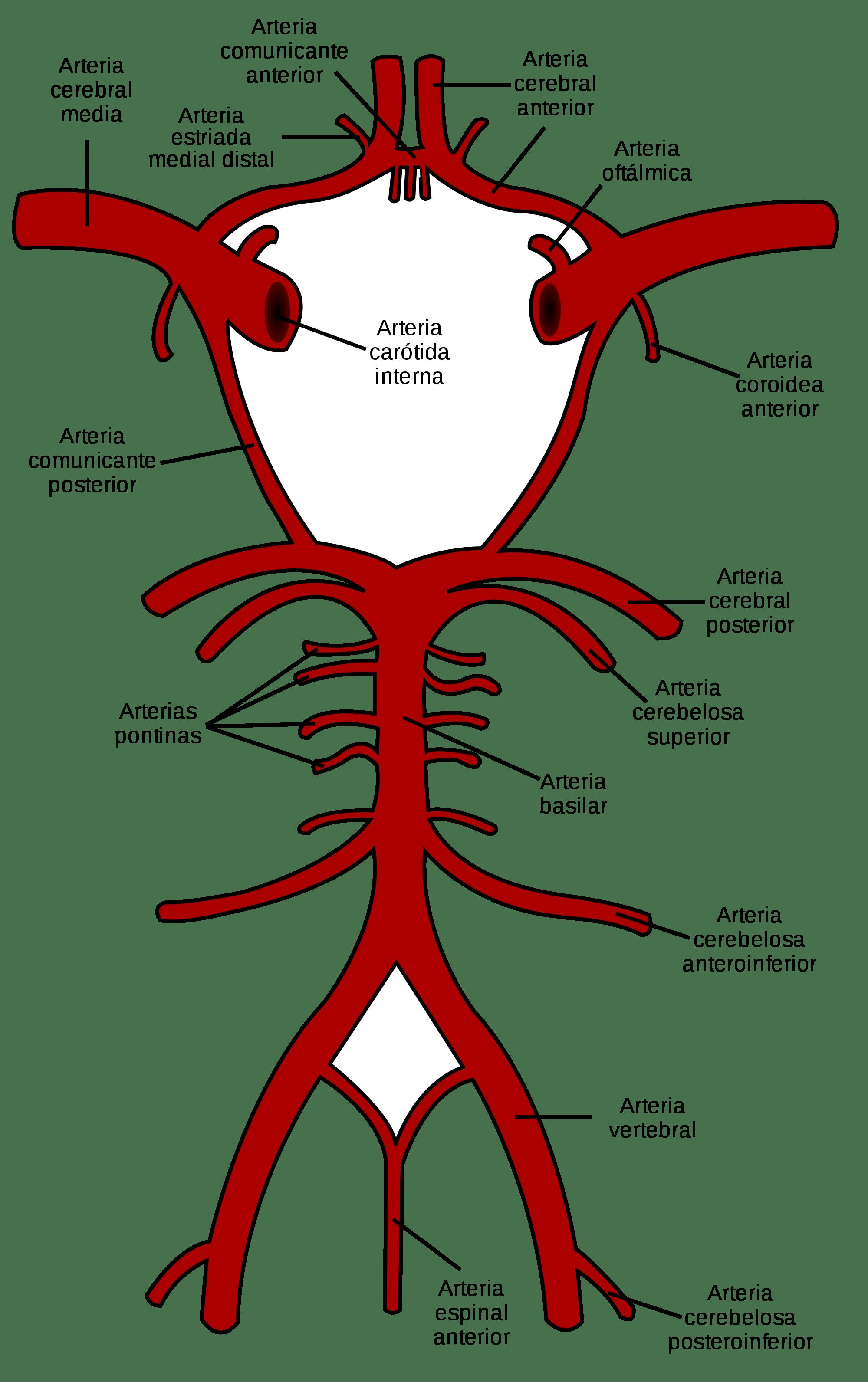 Perfecto Anatomía Y Fisiología Del Ppt Accidente Cerebrovascular ...