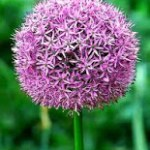 ALLIUM, AJO ORNAMENTAL