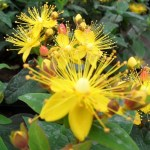 HYPERICUM 'RED LION'