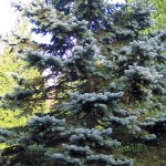 PICEA PUNGENS OLDENBURG
