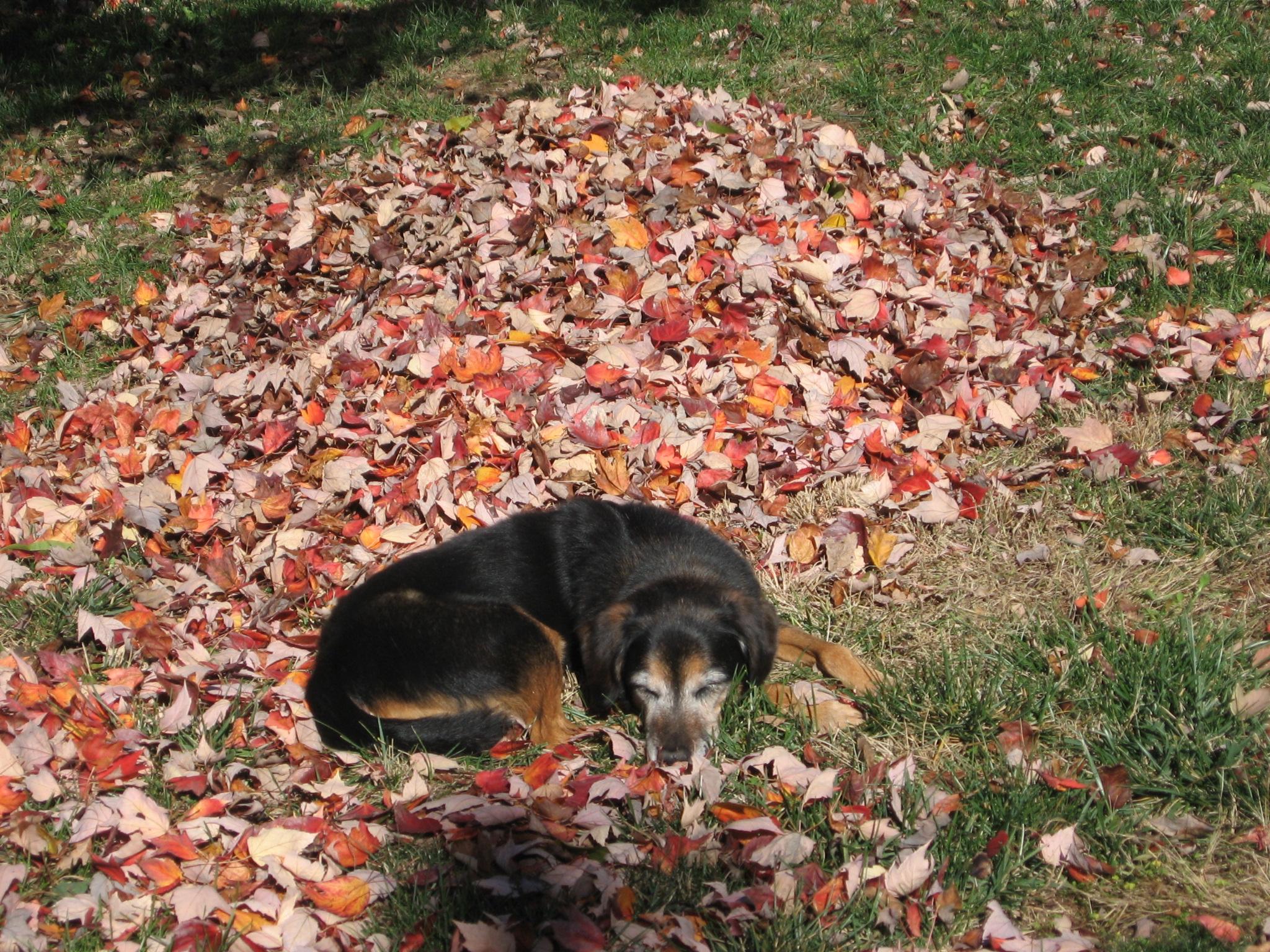 Leaf Mold = Free Soil Conditioner