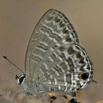 Nacaduba Sinhala