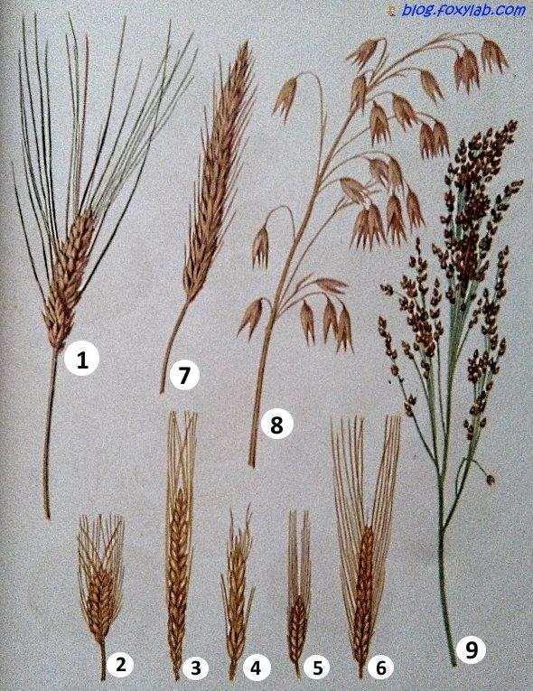 исчезновение сильных рожь и пшеница фото различия конце концов изучению