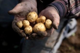 Les secrets de la pomme de terre Ronde d'Opperdoes