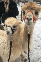 Beim Alpaca-Wandern. Foto: privat