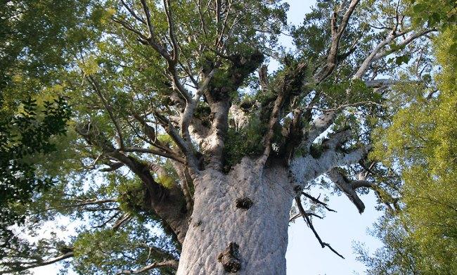 Kauri de Waipoua Forest