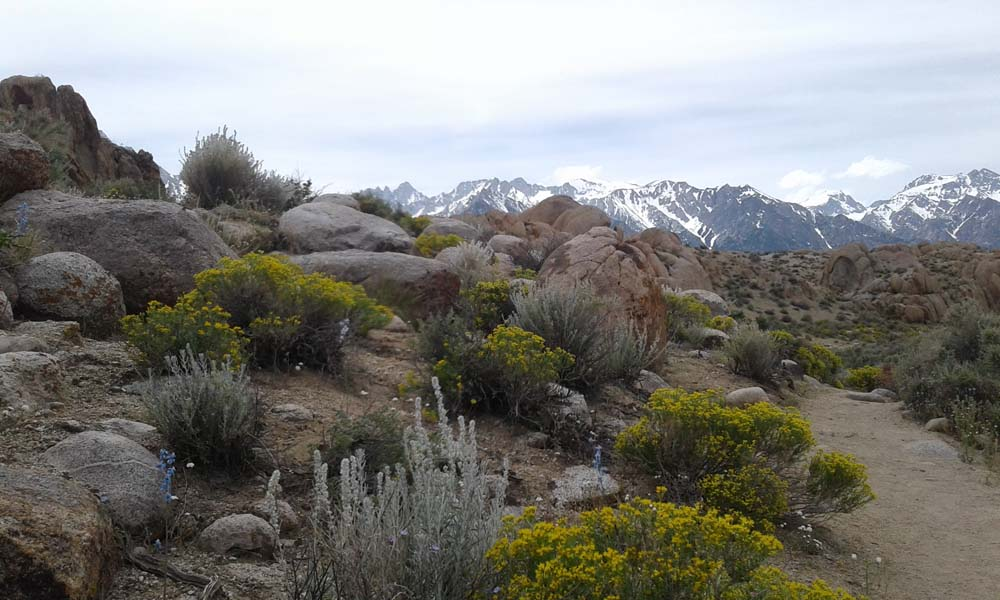Wildflowers in Alabama Hills