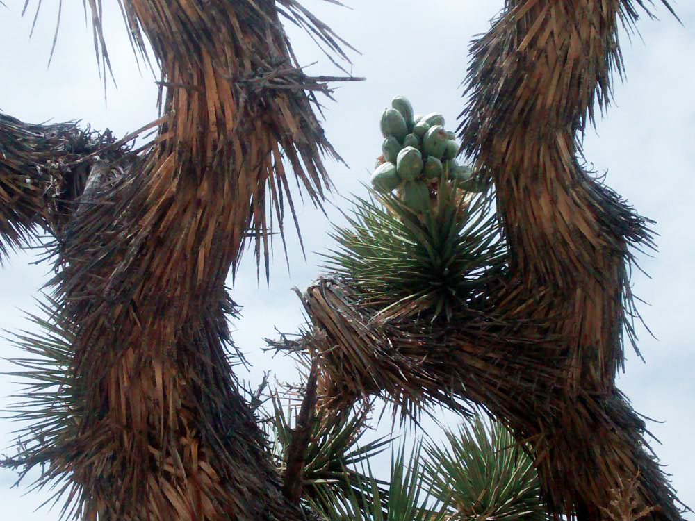 joshua tree fruit