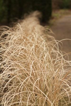 Statuesque grasses