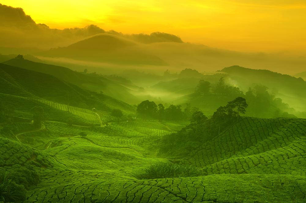 Organic tea fields