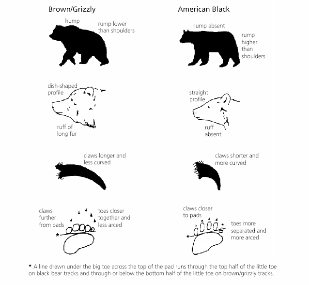 A chart shows key identifying features between grizzlies and black bears. Grizzlies have a rump lower than shoulders; shoulder hump; long claws. Black bears have a rump higher than shoulders; no shoulder hump; and short, curved claws.