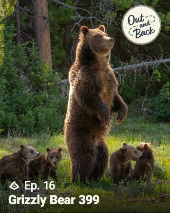 """An image of Grizzly Bear 399 standing on two legs surrounded by her four cubs has the Out and Back podcast logo in the top right corner and """"Ep.16: Grizzly Bear 399"""" in the bottom left corner."""