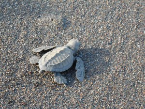 Turtle conservation in Costa Rica