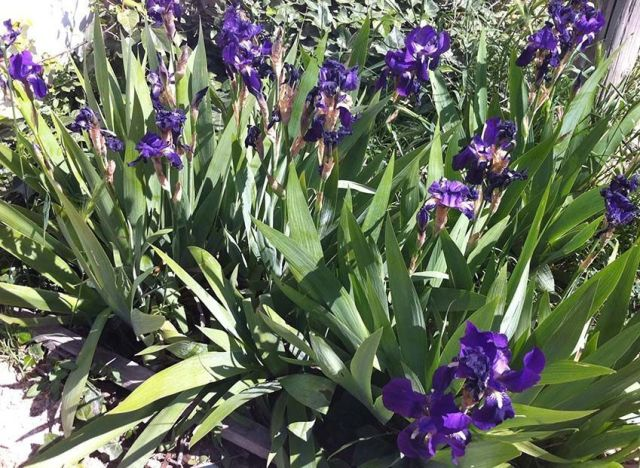 iris_germanica_blue