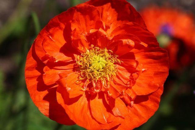 Amapola naranja