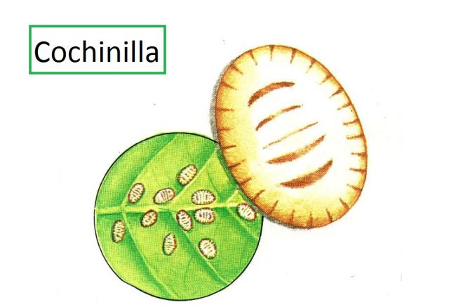 Cochinilla