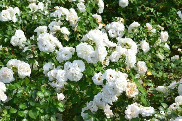 cultivar-rosas