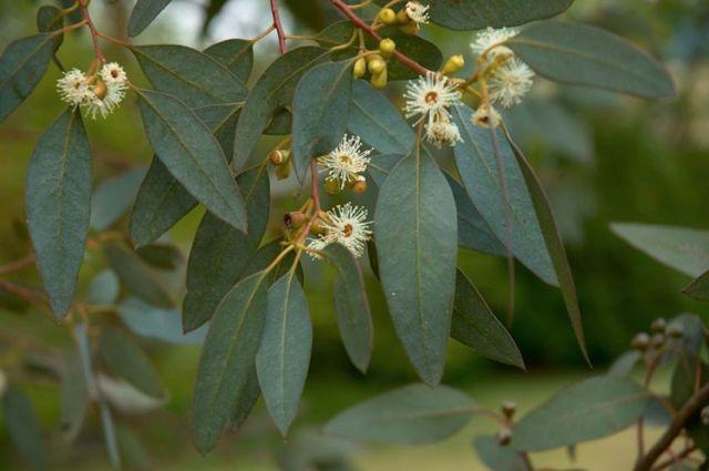 eucalipto-aroma