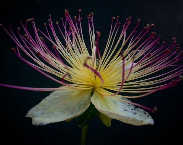 flor-alcaparro