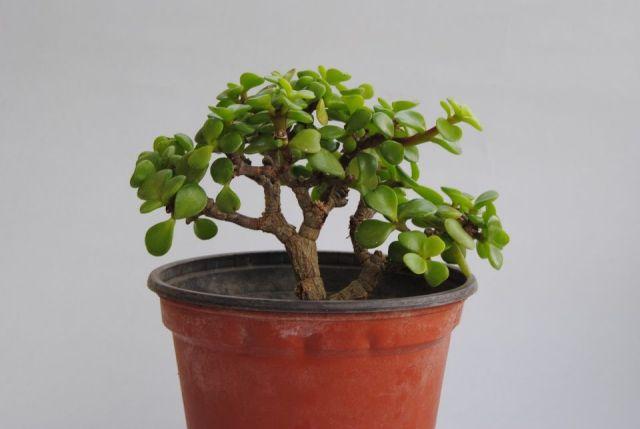 Características Y Cuidados De La Planta De Jade