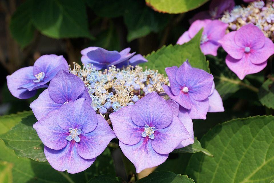 Cuidado De Las Hortensias En Maceta Awesome Gallery Of Stunning