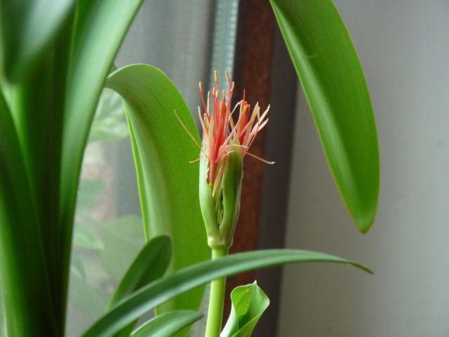 scadoxus-multiflorus-flor