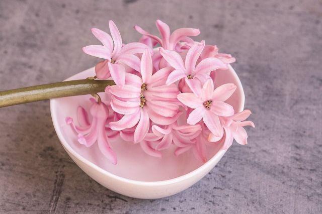 plantas bulbosas de primavera jacinto