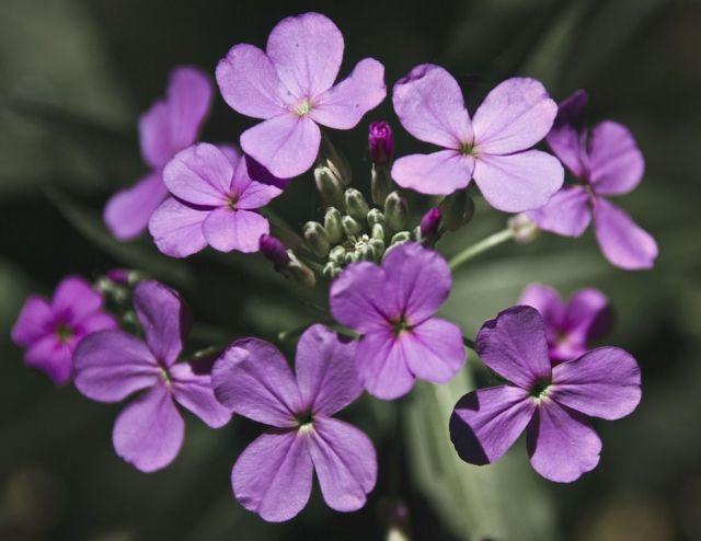 lunaria-flor