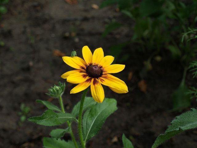 Rudbeckia Hirta flor