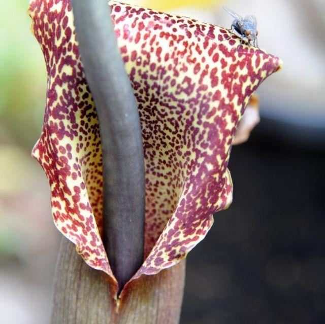 Sauromatum venosum planta