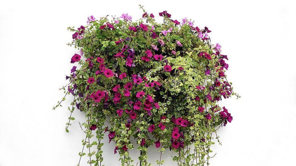 cool cuidados plantas colgantes with plantas colgantes exterior resistentes plantas colgantes exterior - Plantas Colgantes Exterior