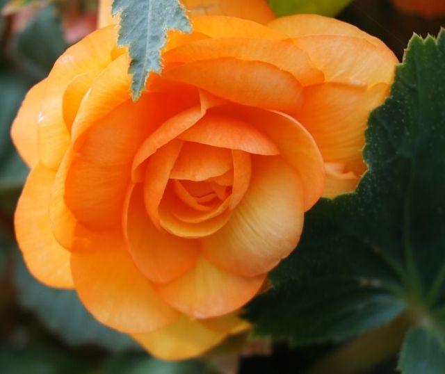 Begonia naranja