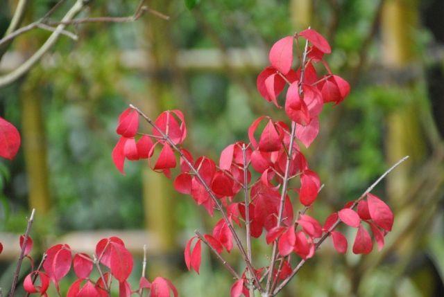Euonymos alatus arbusto