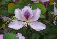 Bauhinia forticata planta