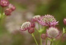 Astrantia major planta