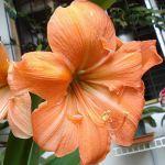 Amaryllis rilona