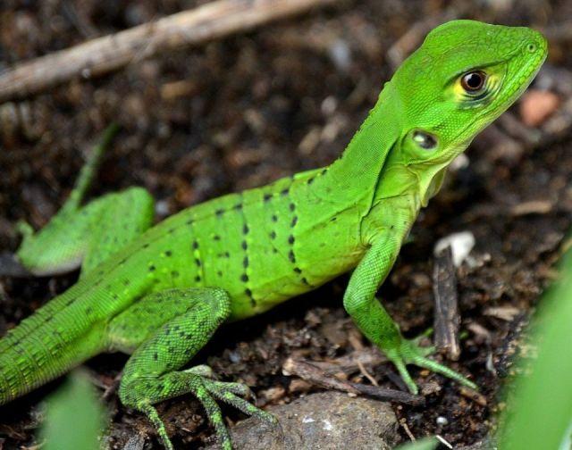 Iguana cuidados