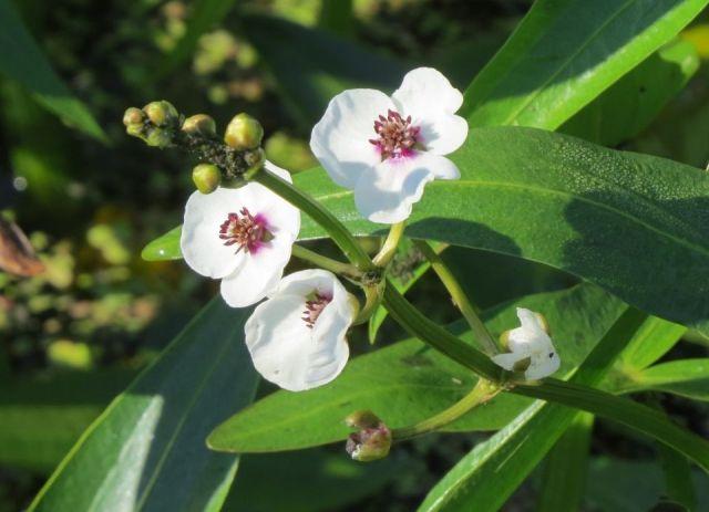 Sagittaria sagittifolia planta