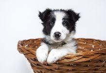 Pulgas, piojos, garrapatas perro