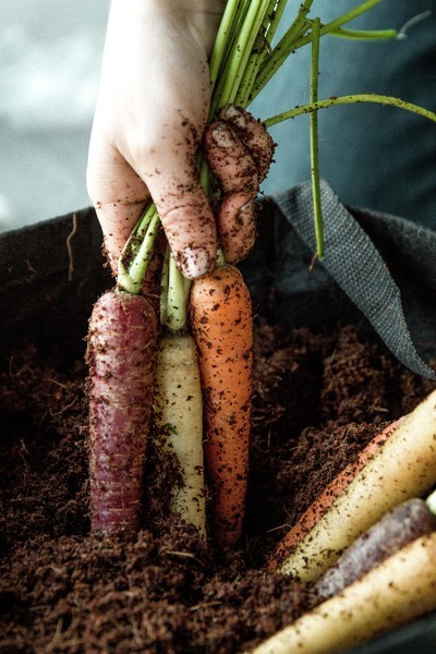 harvesting carrots food trends