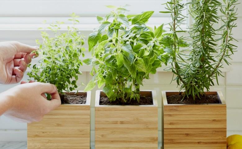 Harvesting Fresh Herbs