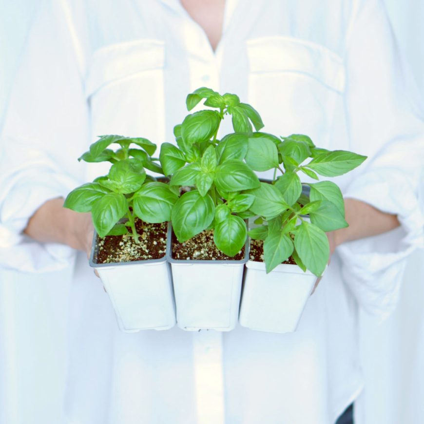 Harvesting Basil - healthiest plants
