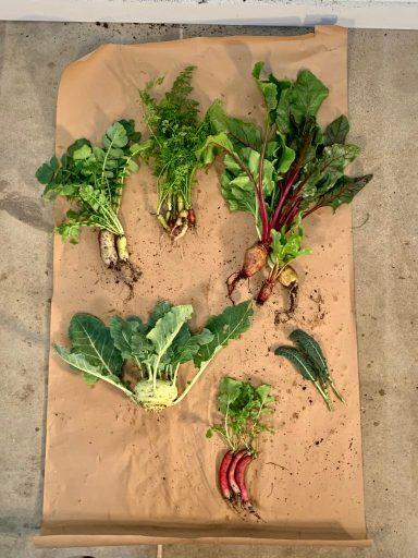 Asian Greens Harvest