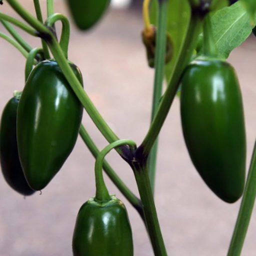 Jalapeño Pepper Garden