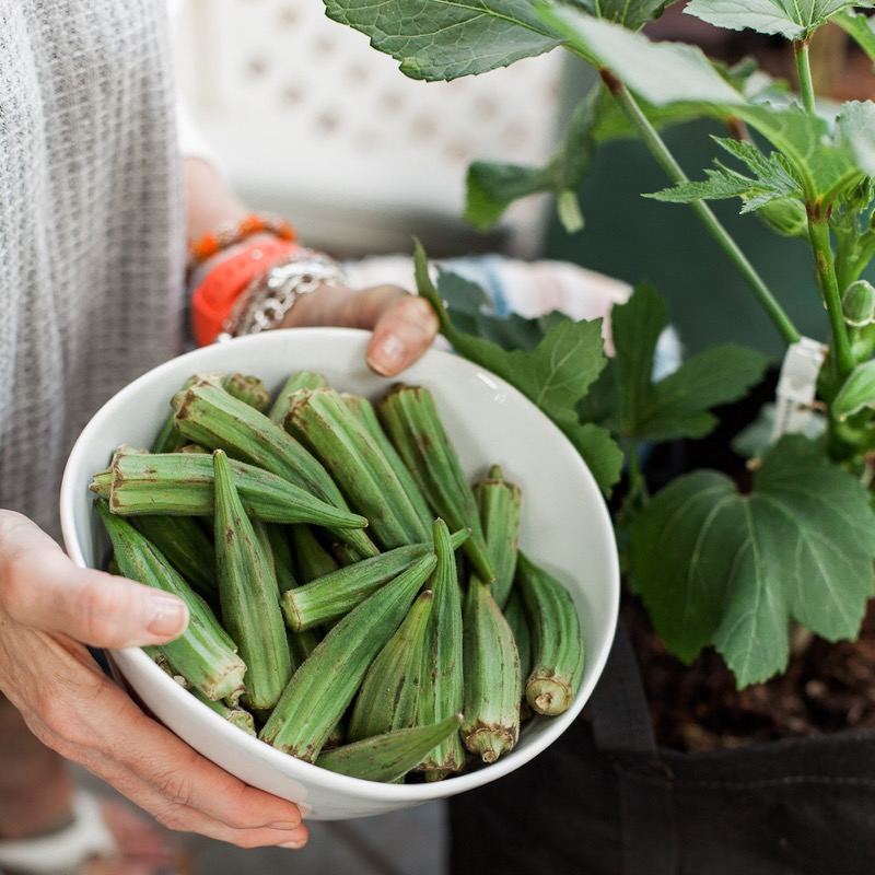 Okra Harvest From Summer Container Garden