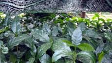 K'HO coffee farm: vlhkosť nasávajú rastlinky pod stojanmi na sušenie