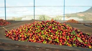 K'HO coffee farm: preberanie kávy