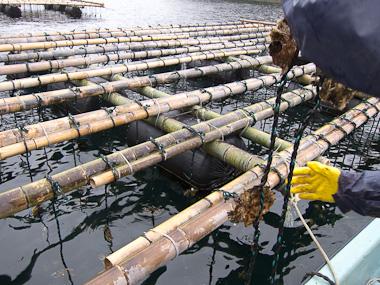 120121神奈川災害ボランティア・牡蠣棚に牡蠣をつるす