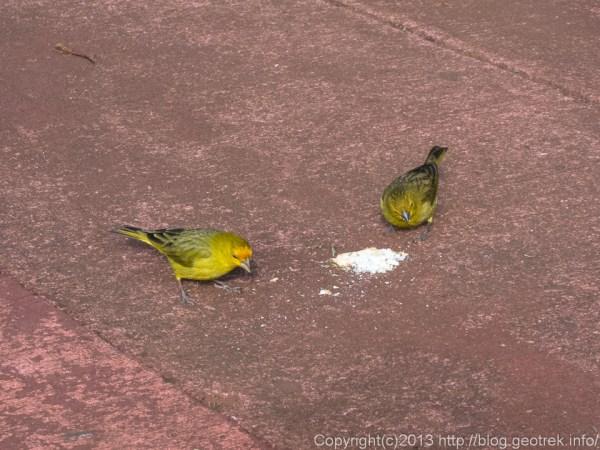 130827イグアスの滝・黄色いスズメ