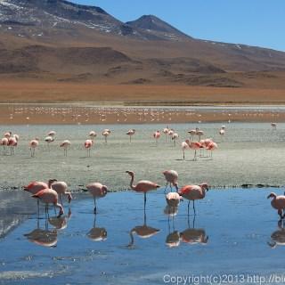 130904アタカマ砂漠、ラグーナ・エリオンダのフラミンゴ2